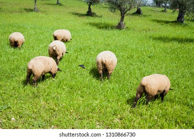 Suffolk sheep herd in the spring meadow grazing field, with olive and cork oak trees -  agriculture in Alentejo, Portugal, Europe. Suffolk sheep are a black-faced, open-faced breed of domestic sheep.