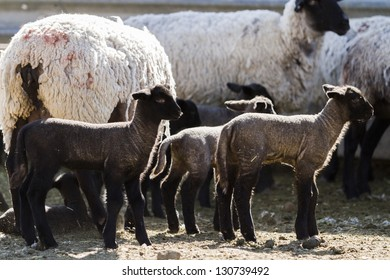 Suffolk sheep with lamb on a local farm in Spring.