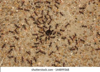 Sugar ants gather around the hole of their nest, Queensland, Australia