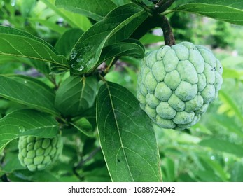 Sugar apple or custard apple, is full of vitamin C anti-oxidants, which helps to combat many diseases and also enhances the immune system.