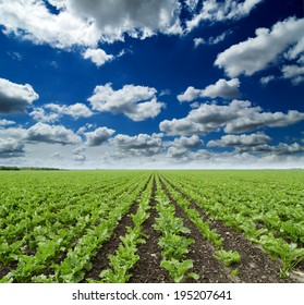 Sugar beet crops field, agricultural landscape