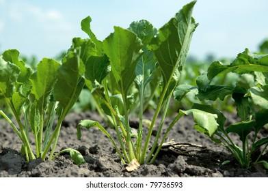 Sugar beet field on a daylight