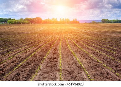 sugar beet field and sunset