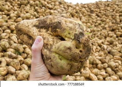 Sugar beet in a hand of a farmer