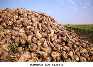 Sugar beet pile at the field after harvest