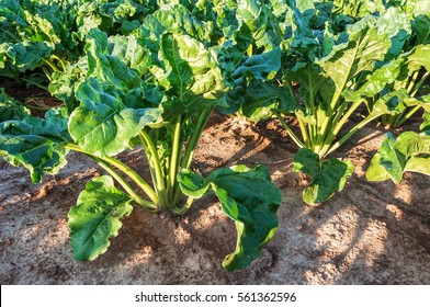 sugar beet roots and leaves in the field