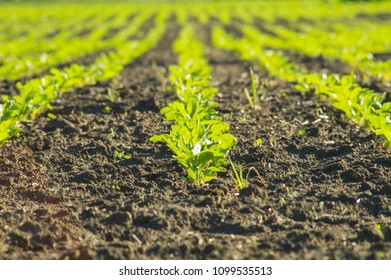 Sugar beet, sugar beet sprouts field