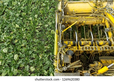 Sugar beets harvest