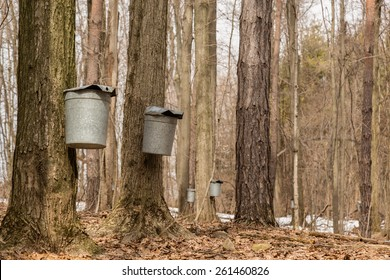 The sugar bush. Pails hang from Maple trees collecting sap to produce maple syrup.