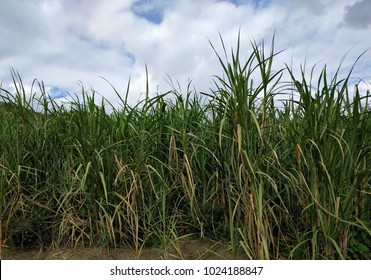 Sugar Cane - Caribbean