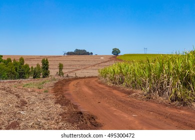Sugar Cane Farm in Brazil with growing plants of sugarcane.