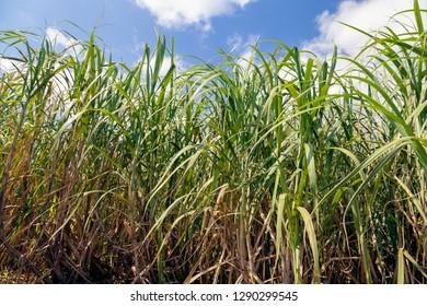 Sugar Cane Field at Amami Oshima, Kagoshima Prefecture, Japan