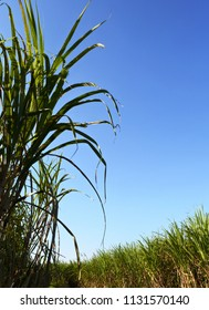 Sugar cane field with soft light