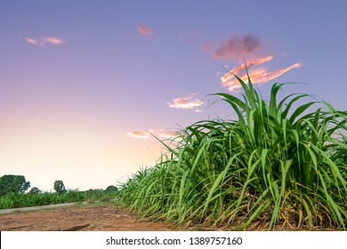 sugar cane field at sunrise or sunset with blue sky and cloud