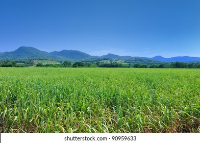 Sugar cane fields with blue sky