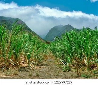 Sugar Cane fields with cloud shrouded West Maui Mountains in the distance