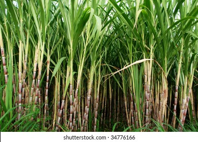 sugar cane fields, culture tropical and planetary stake on biocarburant
