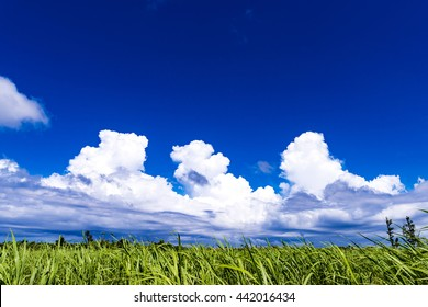 Sugar cane fields, cumulus, landscape. Okinawa, Japan, Asia.