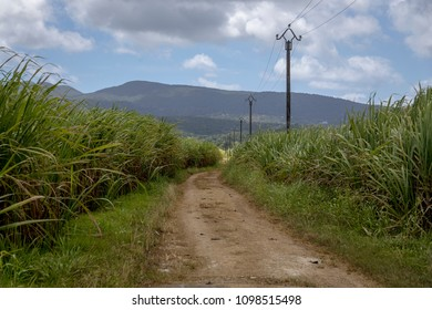 The sugar cane fields of Guadeloupe in the Caribbean