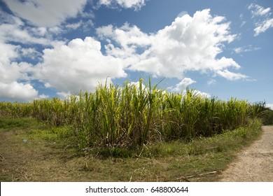 sugar cane growing