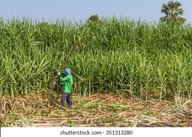 The sugar cane harvest.