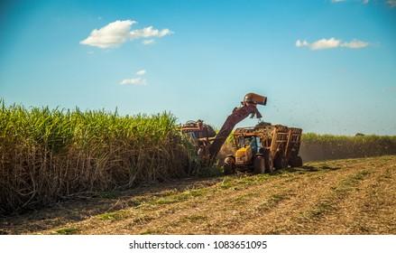 Sugar cane hasvest plantation
