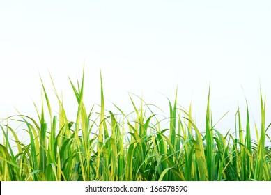 Sugar cane leaf with clear sky for background