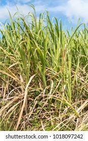 Sugar cane in Marie-Galante island,  Guadeloupe