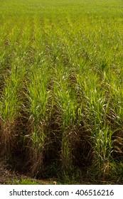 Sugar Cane Monoculture