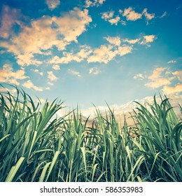 Sugar cane with nice sky - retro vintage filter effect