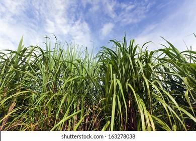Sugar cane on plantation at Guadeloupe