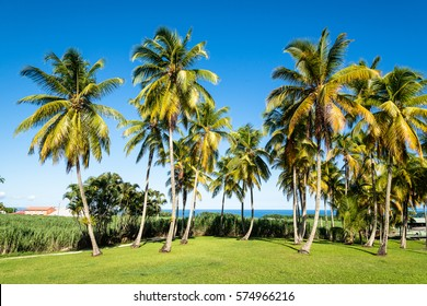 sugar cane and palm trees, Guadeloupe