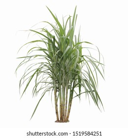Sugar cane plant during grand growth phase isolated on white background, clipping path.