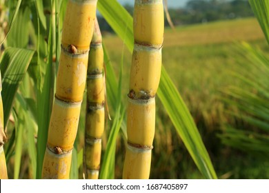 Sugar cane plant grow in field closeup.