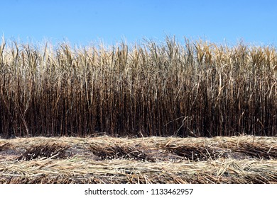 sugar cane plantation burn, sugarcane, sugarcane field is burned for harvesting, background picture of sugar cane farmers farm, sugarcane agriculture
