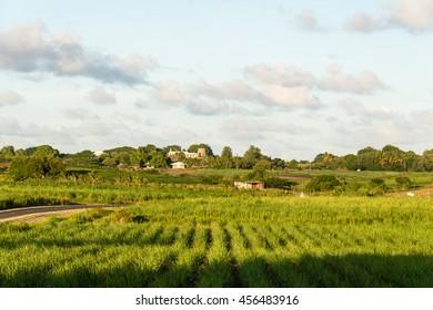 sugar cane plantation, Guadeloupe
