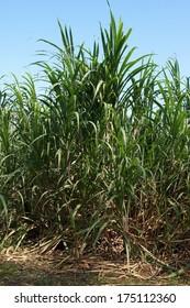 Sugar Cane Plantation, Guadeloupe, Caribbean