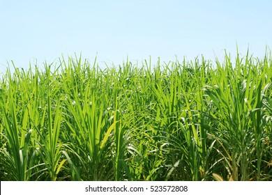 sugar cane plantation, Thailand