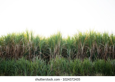 Sugar cane plantation with the white background.