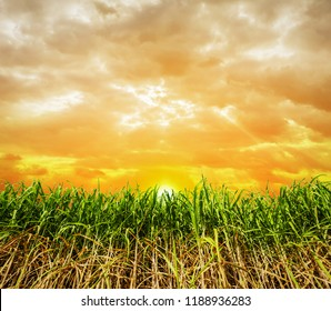 Sugar cane with sunset background