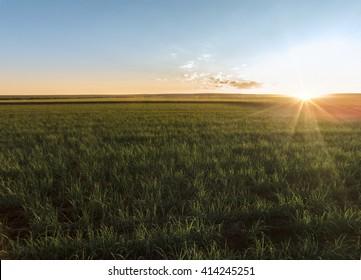 Sugar cane sunset in Brazil