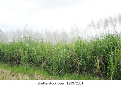 sugar - sugar cane - sugar cane trees