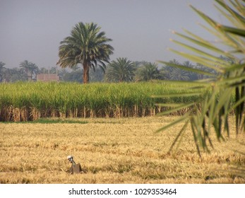 Sugar Cane and Wheat Field in Luxor - Egypt