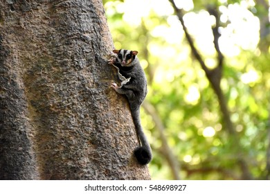Sugar glider climb up the tree in the forest.