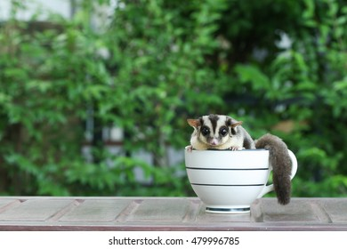 Sugar Glider in coffee cup, Cute animal in househole pet.