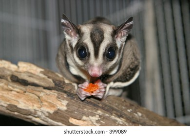 Sugar glider with dried papaya