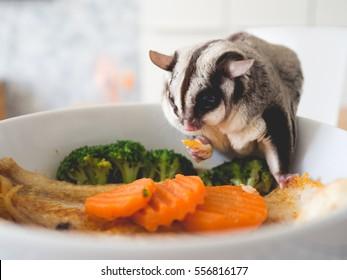 Sugar Glider eating noodle. Pet eat human food.