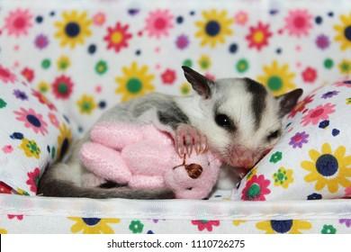 Sugar Glider joey, cuddling with a pink Teddy Bear.