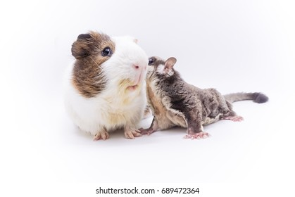 Sugar glider kiss guinea pig. Funny and lovely animal concept