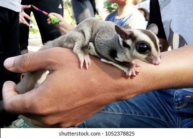 Sugar glider on hand of the owner, close up view